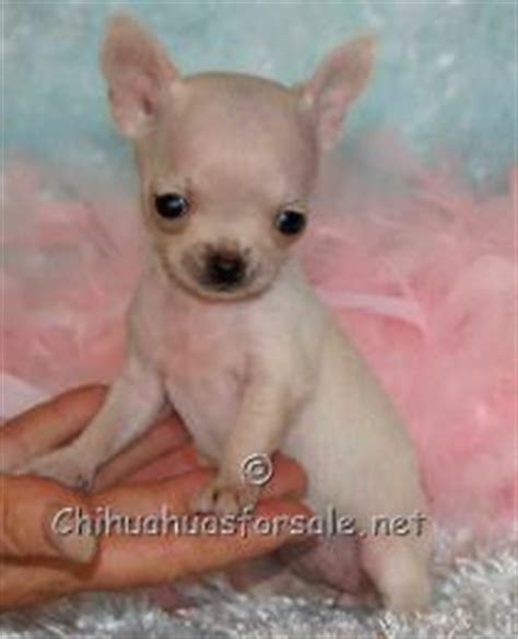 chihuahua puppies for sale in ct fancy paws puppies boutique oroville ca 95965