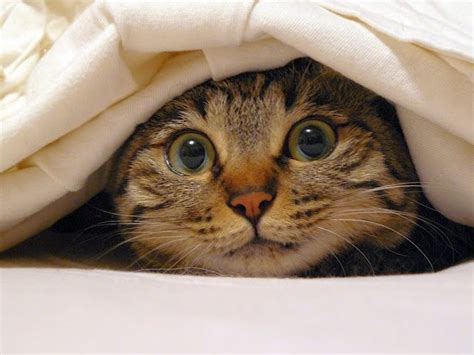 Cat Hiding Bed by Cat Hiding Cover Bed Sheets Brennas Favorite
