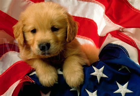 golden retriever flags 1035a127 jpg mira images