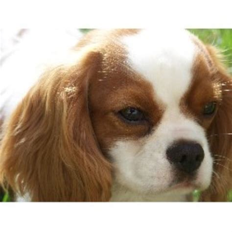 puppy rescue ma cavalier king charles spaniel breeders in massachusetts freedoglistings