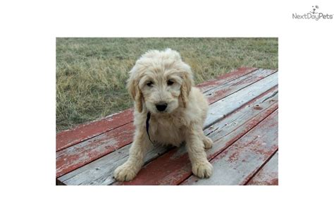 goldendoodle puppies for sale in colorado meet blue a goldendoodle puppy for sale for 800