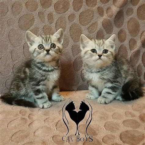 images  british shorthair cats silver
