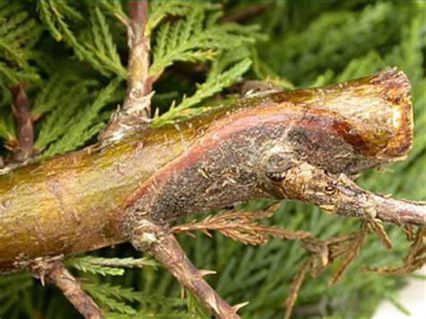 seiridium and botryosphaeria canker of leylands trees