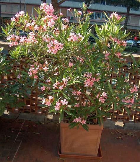 potatura oleandro in vaso piante da vaso nerium oleandro nerium oleander nerium