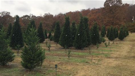 arkansas christmas tree farms only in arkansas