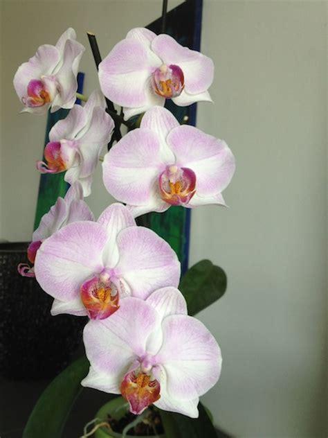 orchideen samen kaufen orchideen kaufen der orchideenversand