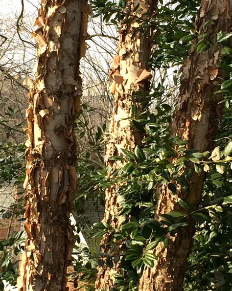 Why Do Sycamore Trees Shed Their Bark by Ruth Kassinger Gardening Author And Botany Expert The