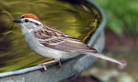 roy lukes april is sparrow month door county pulse