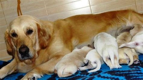 golden retriever price in india mumbai golden retriever puppies price in mumbai