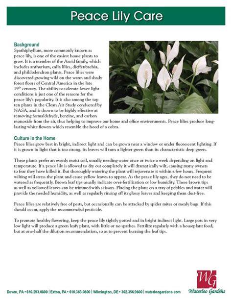 lilies peace  plants  pinterest