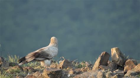 bird egyptian vulture eating carcass in the mountain rocks