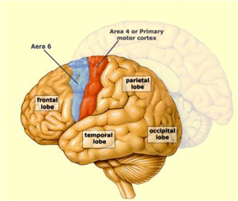 primary motor cortex function and location the brain from top to bottom