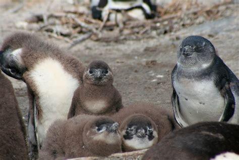 African Penguin Survival | California Academy of Sciences