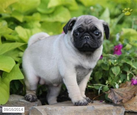 pug puppies for sale in pa pug puppy for sale in mifflinburg pa pugs pug puppies for