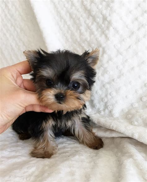 teacup yorkie for sale california tiny teacup yorkie for sale california iheartteacups