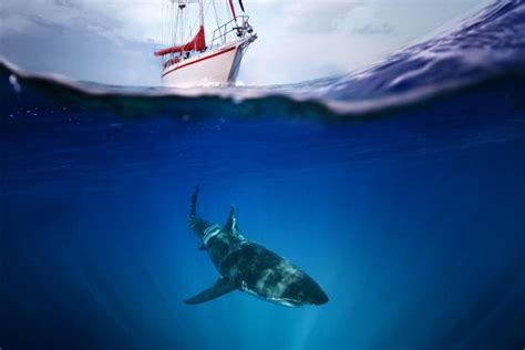 great white shark jumps in boat fisherman injured after shark jumps into boat