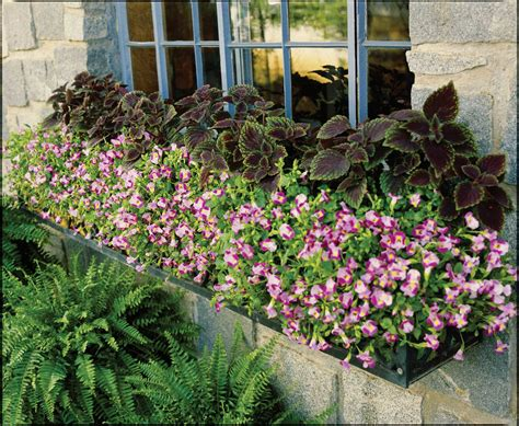 container gardening in houston torenia a colorful charmer for summer shade houston