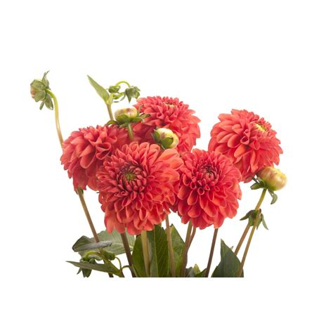 burnt orange dahlia flowers flower muse