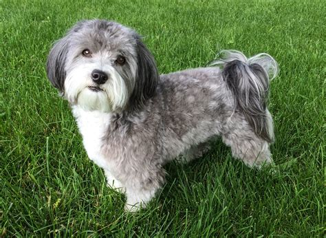 havanese cuts havanese puppy cut www imgkid the image kid has it