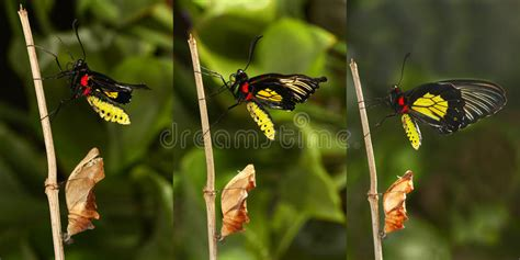 wings emerging from troubled times with new and deeper wisdom books emerging and metamorphosis of tropical golden birdwing