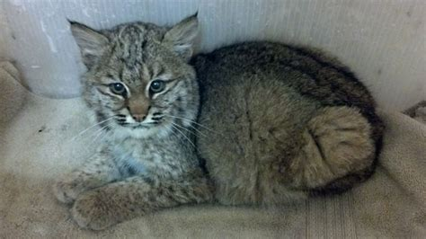 wildlife haven takes in bobcat cub found stuck in woodpile