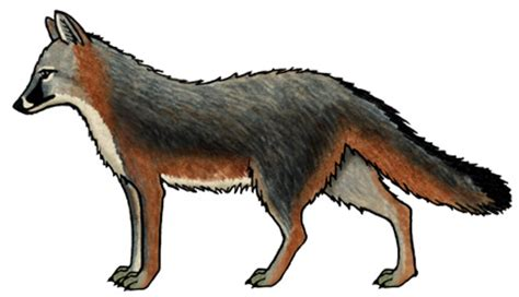 swift fox coloring page swift fox coloring page