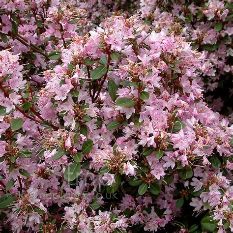 rhododendron racemosum information pictures cultivation tips