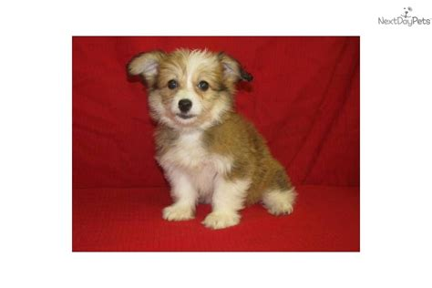 corgi poo puppies for sale pembroke corgi puppies for sale pembroke html autos weblog