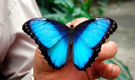 imagenes de mariposas morfo azul mariposa morpho caracter 237 sticas qu 233 come d 243 nde vive