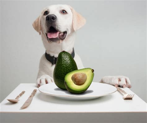 dogs and avocado the top 8 toxic foods your pets should not eat jet pet resort