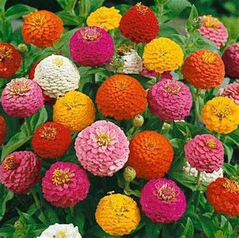 10 Benih Biji Bunga Zinnia Carpet bibit bunga zinnia lilliputians