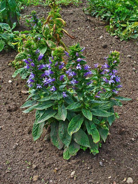 lobelia plant care guide and varieties auntie dogma s