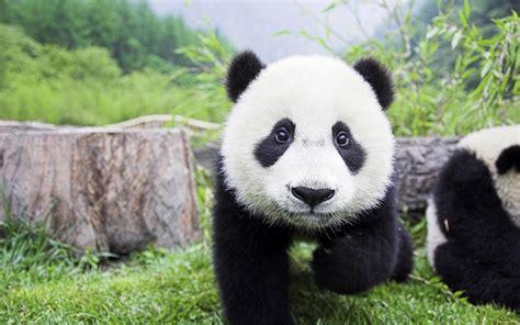 Black Panda by Black And White Panda Colors Photo 34704855 Fanpop