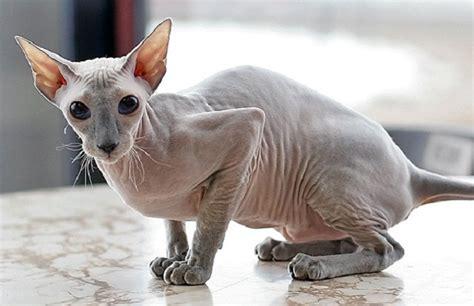 Peterbald Cat ? Purrfect Cat Breeds
