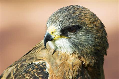 the hawks swainson s hawk audubon field guide