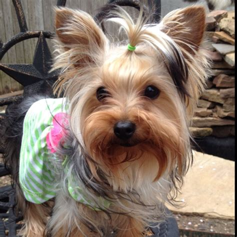 yorkie fur 1877 best yorkies images on yorkies animals and puppies