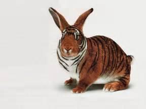 funny rabbit lookes like tiger