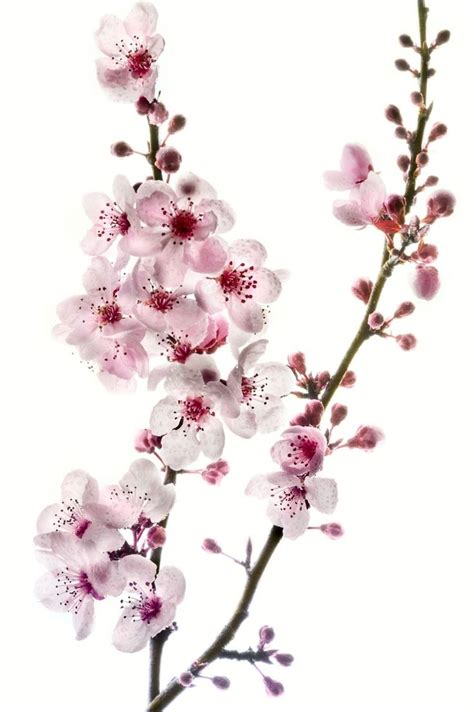 cherry blossom branch speed painting 25 best ideas about cherry blossom branches on