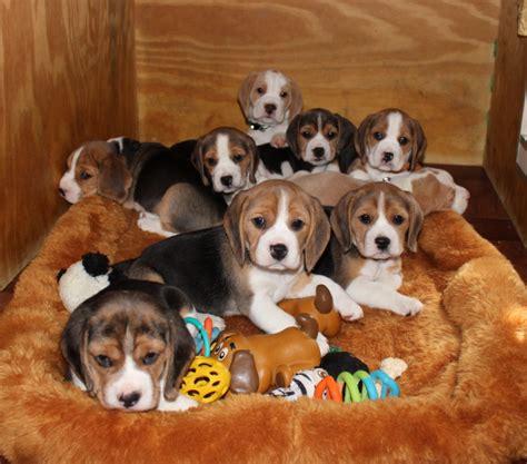 nj breeders new jersey beagles new jersey beagle breeder newjerseybeaglesbreeder breeder