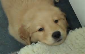 puppy with hiccups golden retriever puppy has a mad of the hiccups