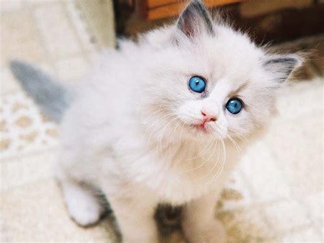 Kucing Anggora Cantik terpercaya 12 ciri ciri ras kucing anggora yang asli
