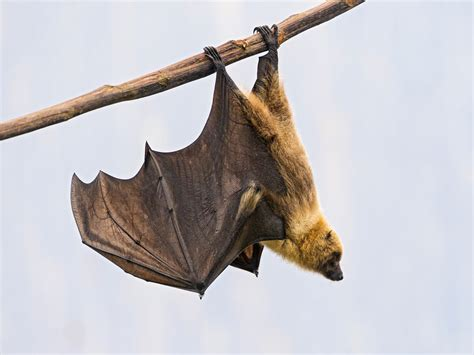 hanging a picture hanging fruit bat ii another picture of a hanging fruit