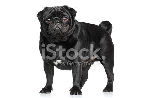 pug noir pug noir sur blanc photos freeimages