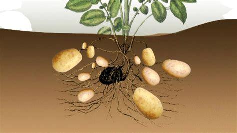 Wie Pflanze Ich Kartoffeln 4632 by Vom Ahorn Bis Zur Zwiebel Die Kartoffel Vom Ahorn Bis