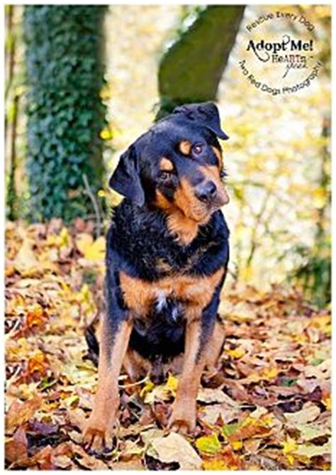rottweiler rescue washington state seattle c o kingston 98346 washington state wa rottweiler mix meet rye a for