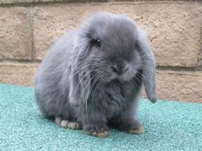 lop colors lop bunnies in hoobly classifieds