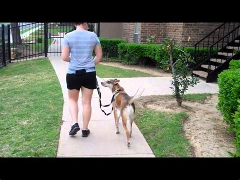 teaching a puppy to walk on a leash 3 steps to teach your to walk on a leash