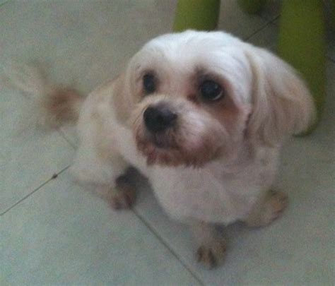 maltese shih tzu names reward for missing mixed breed of maltese and shih tzu lost at ghim moh road