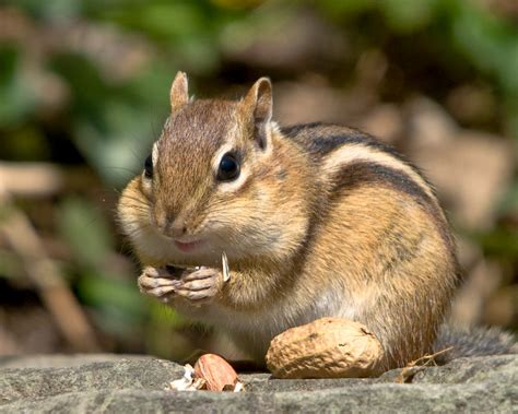 A Chipmunk - chipmunks