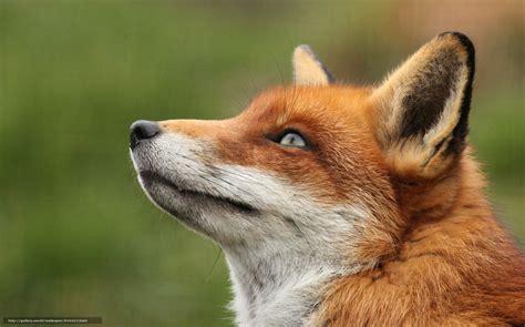 fox looking wallpaper looking up fox fox portrait free desktop wallpaper in the